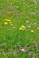 field that Niwazekishou and Flatweed bloom Stock photo [1299457] Field
