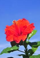Hibiscus Stock photo [1302700] Hibiscus