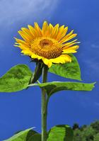 Sunflower Stock photo [1303693] Sunflower