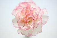 Carnation Stock photo [1306191] Flower