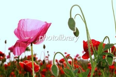 ポピーのつぼみと透き通る花