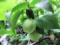 Green plum Stock photo [1386113] Plum