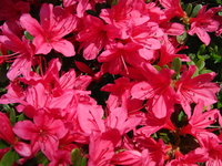 Red azalea flowers Stock photo [1387429] Azalea