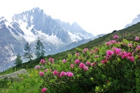 Alps of 3 Daimyo flower, Alpine Rosa Stock photo [1388542] Alpine