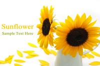 Sunflower Stock photo [1388650] Sunflower