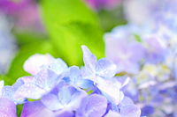Hydrangea up of lilac Stock photo [1389113] Hydrangea