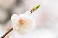 White plum Stock photo [1390691] White