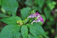 Impatiens and tree frog Stock photo [1392050] Impatiens