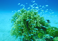 Coral and Chromis viridis Stock photo [1392500] Coral