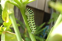 Yellow swallowtail larva Stock photo [1392817] P.