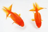 Goldfish Stock photo [1394354] Goldfish