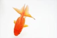 Goldfish Stock photo [1394628] Goldfish