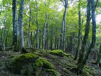 Beech forest of moss Stock photo [43484] Beech