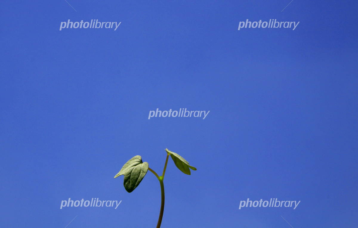 Of morning glory bud and blue sky Photo