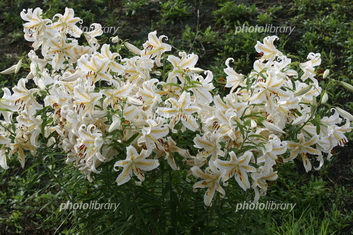 Herd bloom gold-banded lily Photo