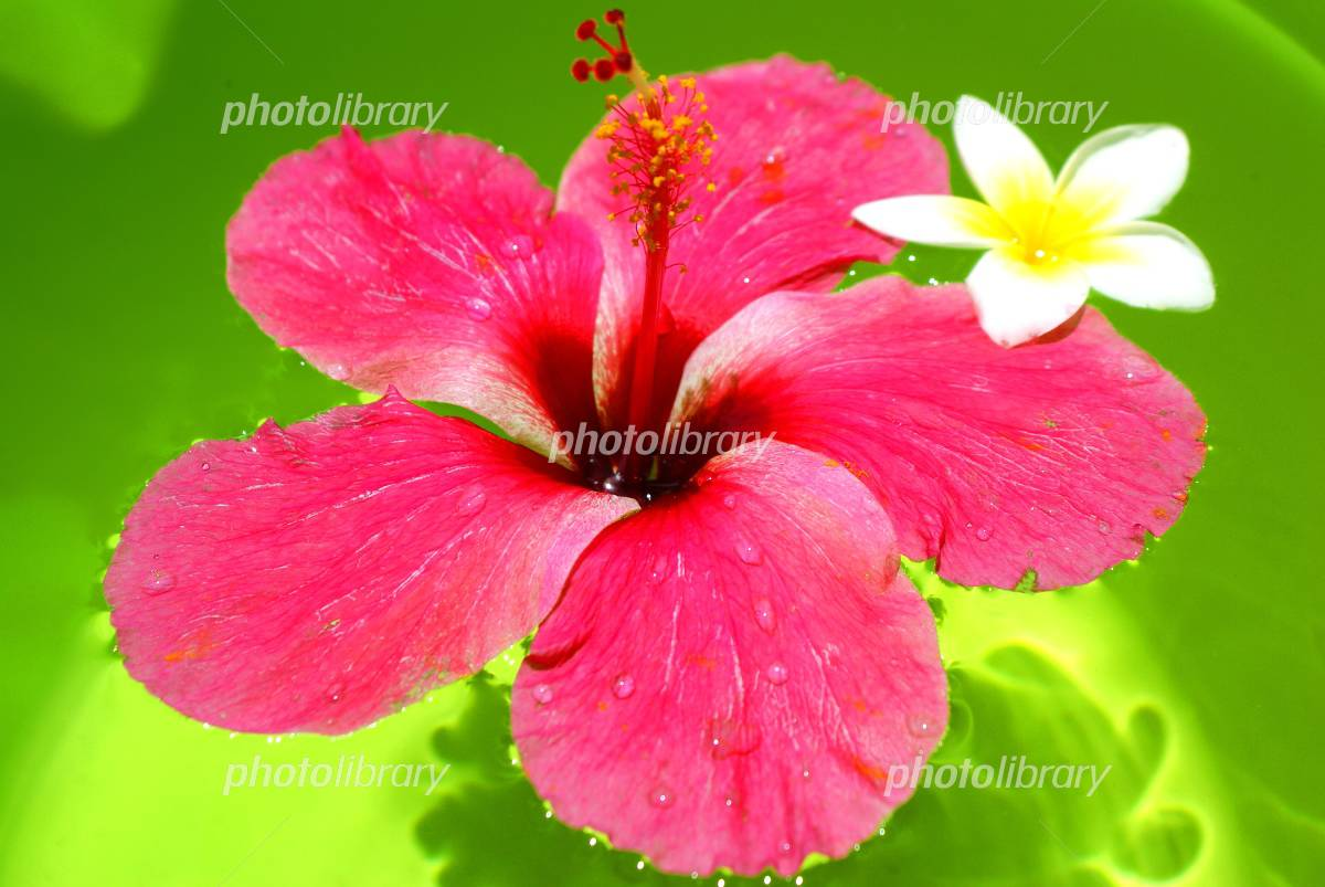 Hibiscus and Plumeria Photo