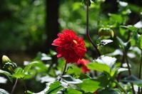 Dahlia Stock photo [1481405] Dahlia