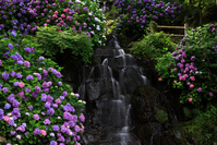 Hydrangea bloom waterfall Stock photo [1485083] Hydrangea