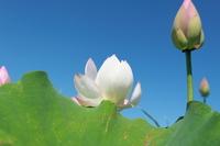 Lotus Flower Stock photo [1485312] Lotus