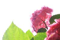 Hydrangea Stock photo [1486557] Hydrangea