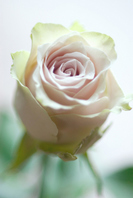 Rose Stock photo [1487169] Rose