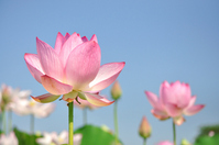 Lotus and blue sky Stock photo [1487479] Lotus