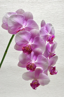 Pink Phalaenopsis Stock photo [1487488] Butterfly