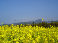 Rape field and highway Stock photo [1488670] High