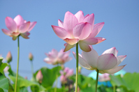 Ancient lotus and blue sky Stock photo [1490028] Lotus