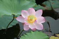 Lotus Flower Stock photo [1490195] Lotus