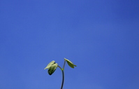 Of morning glory bud and blue sky Stock photo [1490646] Eco