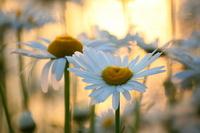 Dusk of France chrysanthemum Stock photo [1491054] Lacustre