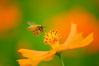 Cosmos sulphureus and bees flying Stock photo [1492446] Cosmos