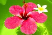 Hibiscus and Plumeria Stock photo [1492623] Red