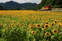 Sunflower fields and train Stock photo [1493245] Sunflower