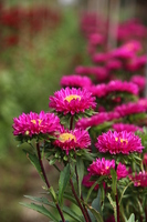 Aster Stock photo [1584840] Aster