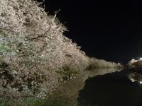 Hirosaki Cherry Blossom Festival 2011-night, cherry trees Stock photo [1586309] Hirosaki