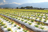 Yatsugatake of celery fields Stock photo [1586577] Celery