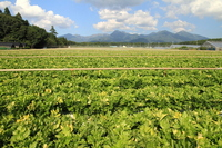Yatsugatake of celery fields Stock photo [1586588] Celery