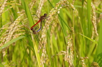 Red dragonfly dragonfly Stock photo [1593631] Red