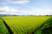 Wide paddy Stock photo [1593761] Rice