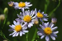 Wild Flower Garden of Sion of flower Stock photo [1595587] Wild