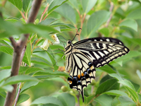 Swallowtail Butterfly Stock photo [1596250] Swallowtail