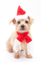 Norfolk Terrier Christmas Stock photo [1688268] Dogs
