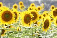Sunflower Stock photo [1689197] Sunflower