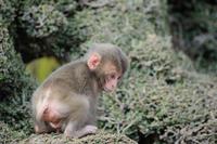 Japanese monkey Japanese