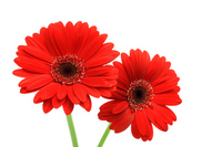 Gerbera Stock photo [1695399] Gerbera