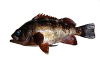 Rockfish is I was able to catch Stock photo [1696561] Rockfish