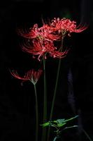 Of black back amaryllis Stock photo [1698671] Amaryllis