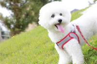 Grassland of Bichon Frise Stock photo [1762277] Bichon